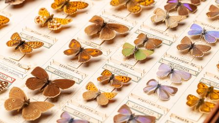 A display case of catalogued butterflies with labels