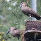 The introduction of the new female has sparked nest-building efforts among the Hamerkop pair