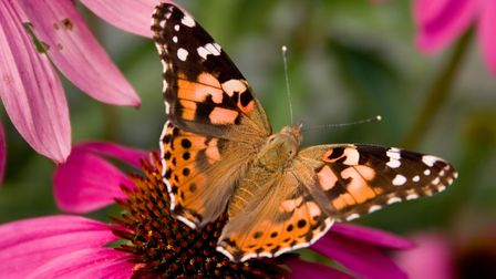 A Painted Lady Butterfly on Echinacea.