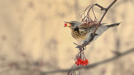 A fieldfare picking and eating a rowanberry in winter.