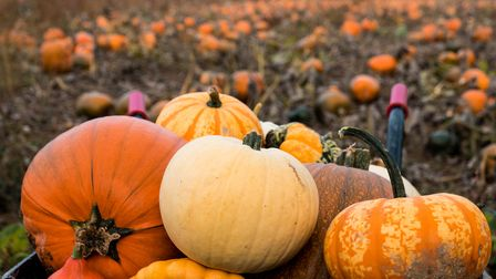 A collection of pumpkins and squashes from the pumpkin patch of different varieties, colours, shapes