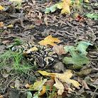 The straysnake was rescued by Hampstead Heath rangers