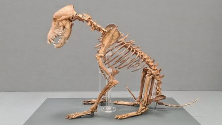 Corinium Museum's Iron-Age dog, now at home in the new Stone Age to Corinium galleries in Cirencester