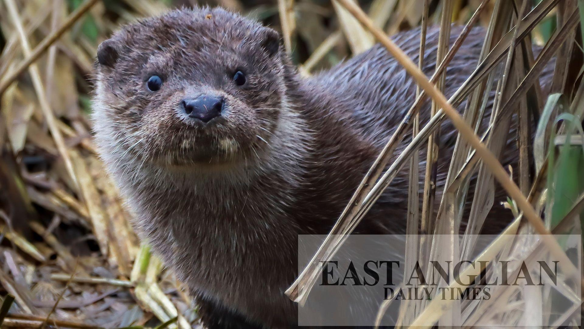Otters captured on camera for the first time at Suffolk museum